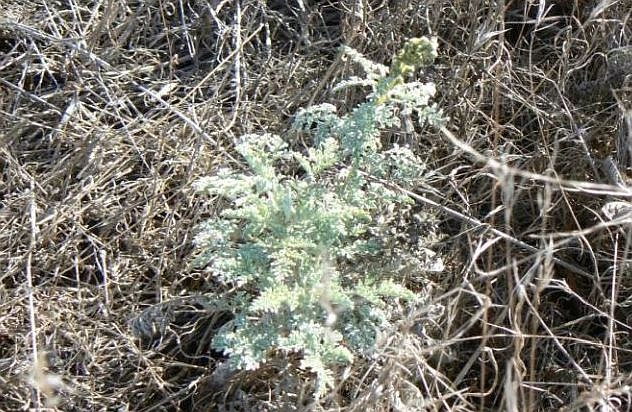 San Diego Ambrosia, a perennial herb in the sunflower family