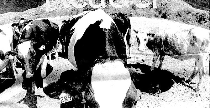 Pauma Valley Dairy cows