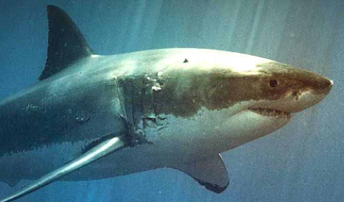 The shark may swim right under a surfer, get startled, and whack the board with its tail.