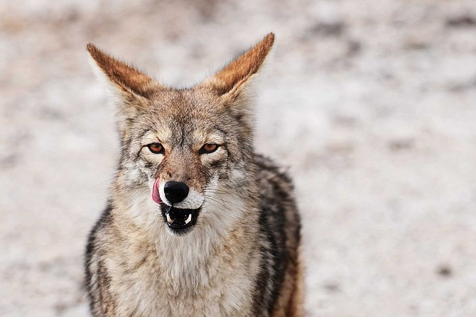 The California Department of Fish and Game estimates the California coyote population at 250,000. San Diego is likely home to tens of thousands.