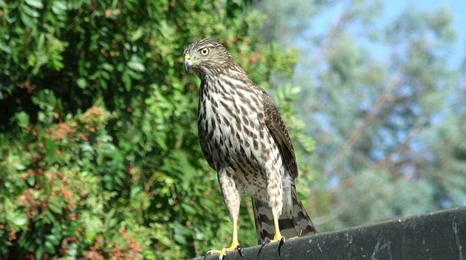 Cooper's hawk - Image by kingtet