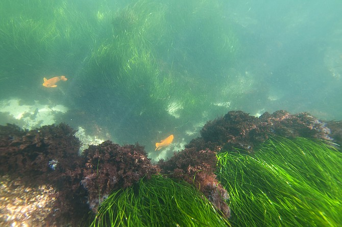 Sea grass and Garibaldi fish near La Jolla Cove