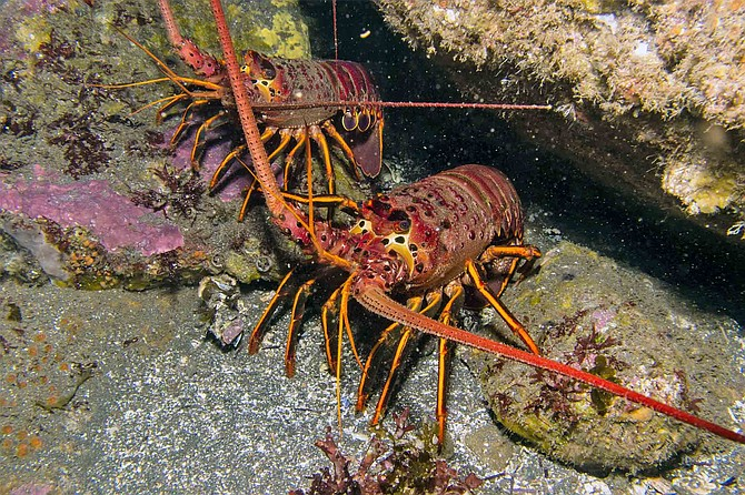 Hiding in the rocks during daytime, spiny lobsters spend their nights foraging and are usually caught between sunset and sunrise.