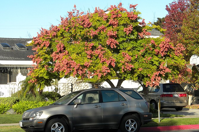 A Chinese Flame tree in full bloom in Southern California.