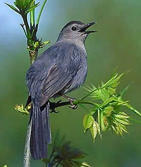 Catbird's avatar