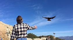 "A peek at Sky Falconry in Alpine, featuring ""hawk walking."""