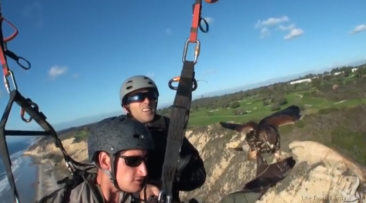 Training a Harris's Hawk to fly with a paraglider.