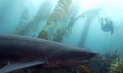 SD Expeditions offers 3-tank boat dives with these prehistoric-looking sharks that congregate in the shallow kelp at La Jolla Cove each spring. Since they are so slow moving and don't require any chum, they make for some great shark interactions!